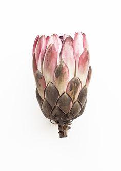 What I See When I Run   Botanical Portraits   Vintage (Protea)