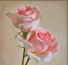 Pink roses <3
