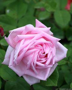 Hybrid Perpetual Rose: Rosa 'Arillaga' (U.S., 1929)
