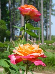 1000 images about spend a day in caddo parish on The gardens of the american rose center