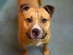 TO BE DESTROYED - 01/29/15 Brooklyn Center -P  My name is CONNOR. My Animal ID # is A1025769. I am a male brown and white staffordshire and amer bulldog mix. The shelter thinks I am about 3 YEARS old.  I came in the shelter as a STRAY on 01/18/2015 from NY 11434, owner surrender reason stated was STRAY.