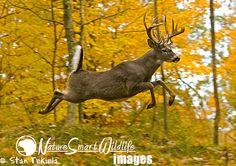 White-tailed Deer jumping in fall colors taken under controlled conditions Whitetail Deer Pictures, Whitetail Deer Hunting, Deer Photos, Whitetail Bucks, Deer Pics, Moose Deer, Big Deer, Deer Art, Hirsch Silhouette