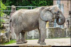 Tiergarten Schönbrunn - Elefant - Wien-Spezial #Wien #Vienna #wonderlustvienna #vienna_austria #ViennaNow #Österreich #Austria #ig_austria #feelaustria #visitaustria #zoovienna #zoo #Tiergarten #schönbrunn #biancabuergerphotography #shootcamp #pickmotion #Reise #travel #animal #Tier #Elefant #elephant #canon #EOS5DMarkIII #5Diii