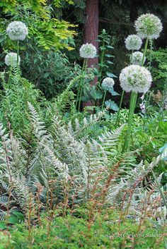 Or use the incredibly beautiful 'Ghost' fern as a way to up-light these white allium flowers! This is a vastly under-utilized foliage color in the fern world, there are way too many great ways for this amazingly silver foliage to light up a dark corner or give just the right zing to a darker leaved companion.