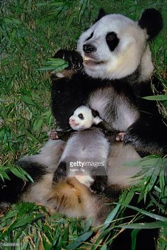 Giant Pandas, mother with cub eating bamboo, Wolong, Sichuan, China