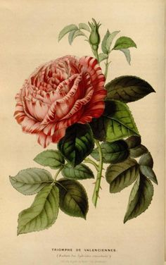 Triomphe de Valenciennes Rose.  Illustration taken from 'Flore des Serres et des Jardins de l'Europe' by Louis van Houtte. Published 1850-1851.  Missouri Botanical Garden.