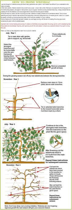 Gardening Tips For Beginners: How to prune wisteria