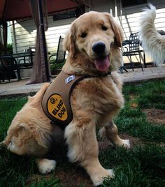 """Ray Charles the Golden Retriever - """"Tank you so much to my furiends at Hound Gear for my new vest to wet evewyone know im blind and help keep me safe! I wuve it!""""  (Facebook via Ray Charles the Golden Retriever)"""
