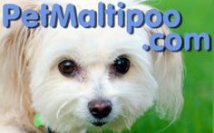 This amazing crossbreed is normally happy, energetic and personable. However there are 4 typical behavior problems that are often seen with Maltipoo puppies and older dogs. Maltipoo Breeders, Maltipoo Dog, Cavachon, I Love Dogs, Cute Dogs, Dog Crossbreeds, Getting A Puppy, Puppy Care, New Puppy