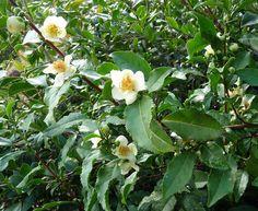 21. Tea Plant