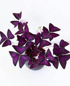 Oxalis. Houseplants. Indoor plants. Lucky plants. Plantsbank. Garden. Gardening. Ornamental plants. Biophilia