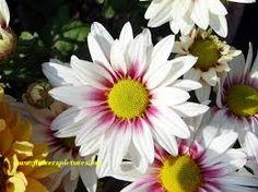 Image result for daisy flowers
