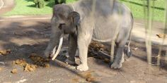 PETITION: Justice for Elephants Chained Up and Prodded with Bullhooks Elephant Park, Elephant Ride, Little Elephant, Baby Elephant, Majestic Animals, Animals Beautiful, Park Lodge, Dangerous Animals, Animaux
