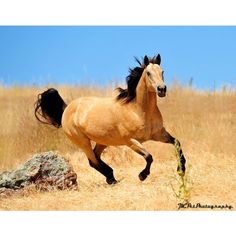 Beautiful Buckskin horse Running wild ❤ liked on Polyvore featuring animals, horse and pictures