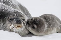 What's cuter than seal pup kisses? Nothing! Photo by @USGS #nature