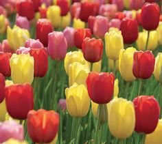 Tulip Darwin Hybrid 'Sunset Blend' Red, Yellow, and Pink Tulip Darwin Hybrid…