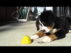 Bernese Mountain Puppy vs. Lemon