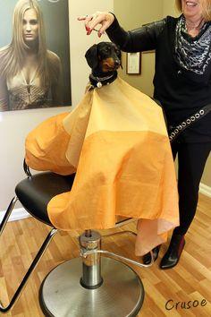 Crusoe Dachshund at the Hair Stylist