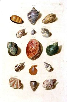 Sea shells, color plate.  From Vintage Printables.