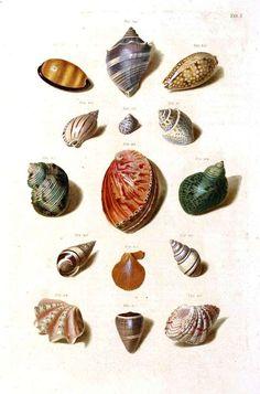 Vintage Seashell Print; Vintage Sea Shell Print -printables
