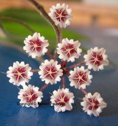 Hoya aff. caudata Rare Flowers, Unusual Flowers, Most Beautiful Flowers, Succulents Garden, Garden Plants, Planting Flowers, Tropical Plants, Exotic Plants, Hoya Plants