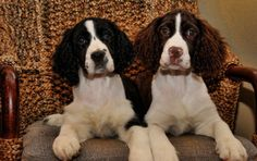 Ahahahahahaha this is so true!  LOL  14 Signs You Are A Crazy Springer Spaniel Person