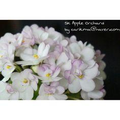African Violet miniature - SK Apple Orchard   #Africanviolet #SK_Apple_Orchard