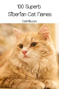 Looking for Siberian cat names that are as pretty as your new kitty? We�ve got you covered with 100 ideas inspired by the frosty-cold region. Check them out! Norse Names, Calming Cat, Himalayan Cat, Cold Mountain, Female Names, Great Names, Siberian Cat, Fluffy Cat, Names With Meaning