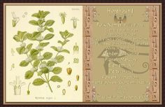 Horehound Herbal Plants, Medicinal Plants, Wiccan, Magick, Witchcraft, Plant Magic, Herbal Essences, Herbal Oil, Halloween Books
