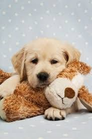 A golden retriever puppy and his toy. Such loving and tender dogs. #GoldenRetriever