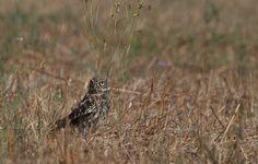 https://flic.kr/p/LB62Y8 | Chevêche d'Athéna (Athene noctua), Little owl, Steinkauz