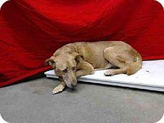 Gardena, CA - German Shepherd Dog. Meet LOBO, a dog for adoption. http://www.adoptapet.com/pet/11521523-gardena-california-german-shepherd-dog