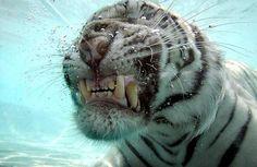 Photos of Tigers underwater 04