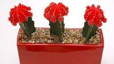 Resultado de imagen para cactus injertos