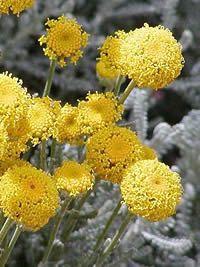 Santolina chamaecyparissus, Abrótano-fêmea, Guarda-roupa, Pequeno-limonete, Roquete-dos-jardins