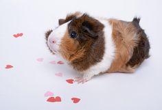 Valentine's Day Guinea Pig