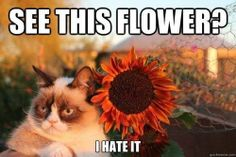 grumpy cat valentine's day   Grumpy cat brings you flowers for Valentine's Day