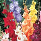 "Mixed Glads Bulb - Tender bulbs Sun Exposure: Partial Shade/Full Sun Height/Habit: 3 - 4' Spread: 4 - 6"" Spacing: 4 - 6"" Hardiness Zone: 8 - 10 Foliage Type: Long strap-like leaves, medium green in color. Flower Form: One long whip-like stem which bears up to 23 florets. Flower Color: Mixed Flowering Date: Mid summer onwards Planting Requirements: Plant 6"" deep and 4-6"" apart. Avoid wind-swept areas. Could plant near a warm wall to extend hardiness."