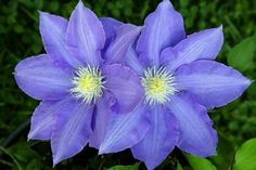 Clematis is a beautiful vine flower the comes in a variety of colors. This guide contains clematis photos. Zinnias, Daffodils, Apricot Blossom, Ginger Flower, List Of Flowers, Blossom Garden, Butterfly Weed, Love Lily, Flower Meanings