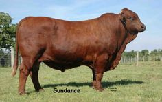 beefmaster cattle | Beefmaster Cattle