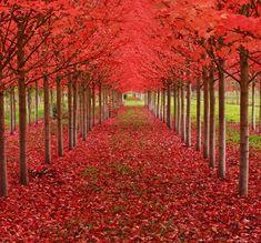Tunel de arboles de Maple en oregon estados unidos