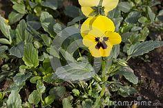 Pensamiento amarillo (wittrockiana de la viola)