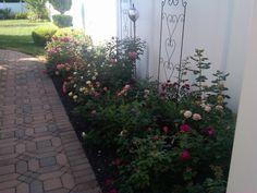 my rose garden.~mon jardin de roses.~House of History, LLC.