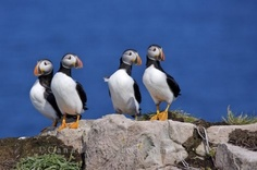 Picture of funny little Atlantic Puffins on the top of Bird Island along the Discovery Trail in Newfoundland Labrador, Canada.