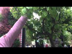 Vous avez un arbre fruitier mais pas de fruits ? Mince ! Guy vous dit pourquoi et comment y remédier, tout est dans la taille !