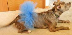 Pitlandia: DIY Dog Tutu Tutorial Blue Weimaraner, Dog Costumes, Dog Accessories, Dog Training, Dog Tutu, Tutu Tutorial, Dogs, Dog Wear, Diy Dog