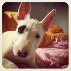 Bull terrier--too precious!!