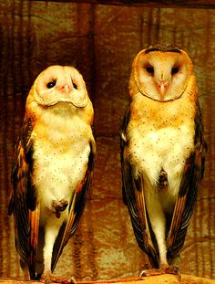 #Owls #Magnificent #Animals  <3   ::)