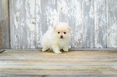 Pomeranian puppies for sale in Ohio | Buy Pom pup from Affordable Pups