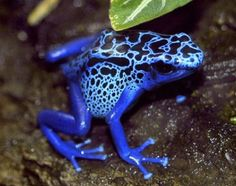Pics For > Colorful Non Poisonous Frogs